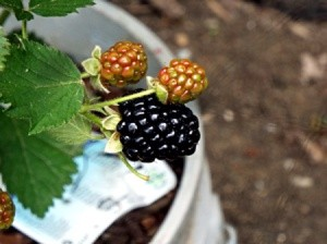 Picking The Ripest Blackberries