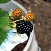 Picking The Ripest Blackberries