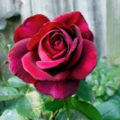 The Classic Rose(Dark Desire) deep red rose