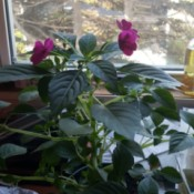 What Is This Houseplant? - plant with dark pink or magenta flowers