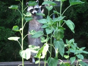 A raccoon on a deck behind some plants.