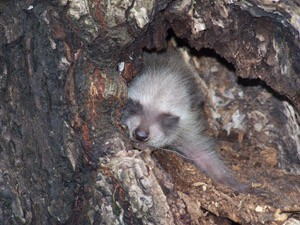 A baby raccoon sleeping in a tree.