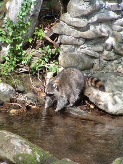 A raccoon dipping its hand in a pond.