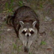 A raccoon outside at night with glowing eyes.