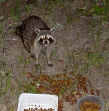 raccoon_hungry.jpg