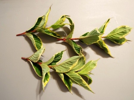 Unknown leaves with green and yellow.