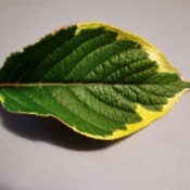 An unknown leaf with green and yellow.