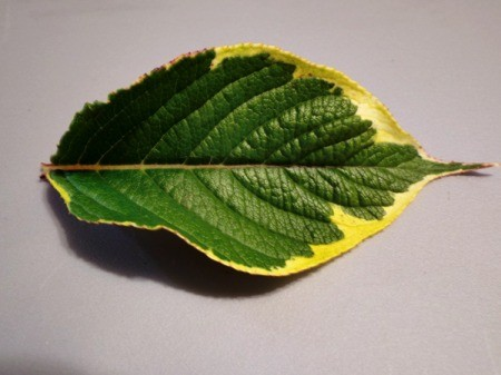 What Variety Is This Dogwood? - dogwood leaf of green and yellow
