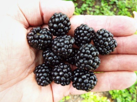 Blackberries Require Decision Making - hand holding several blackberries