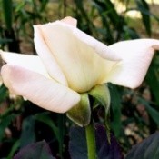 The Pristine Rose In Bud Form - pale pink rose