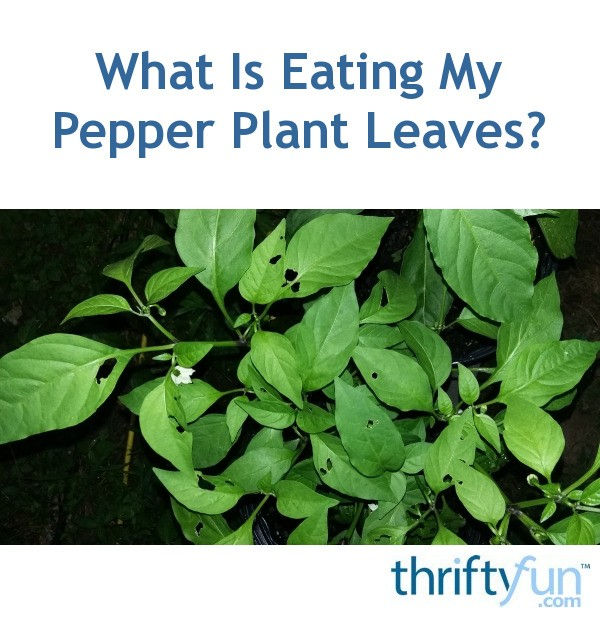 How Much Is Pest Control >> Something Is Eating My Pepper Plants | ThriftyFun