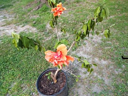 Keep Gardening Interesting hibiscus bloom