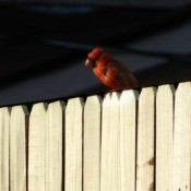 Cardinal or Night Owl? - cardinal on a fence
