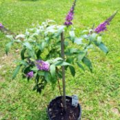 Buzz Buddleia As Standard potted dwarf butterfly bush