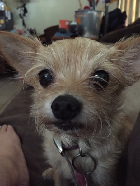Sadie Mae Smith (Chihuahua and Yorkie Mix)