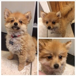 Will Cutting a Pomeranian's Fur Damage His Coat? Pom with short haircut