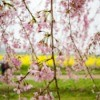 Weeping Cherry with blossoms.