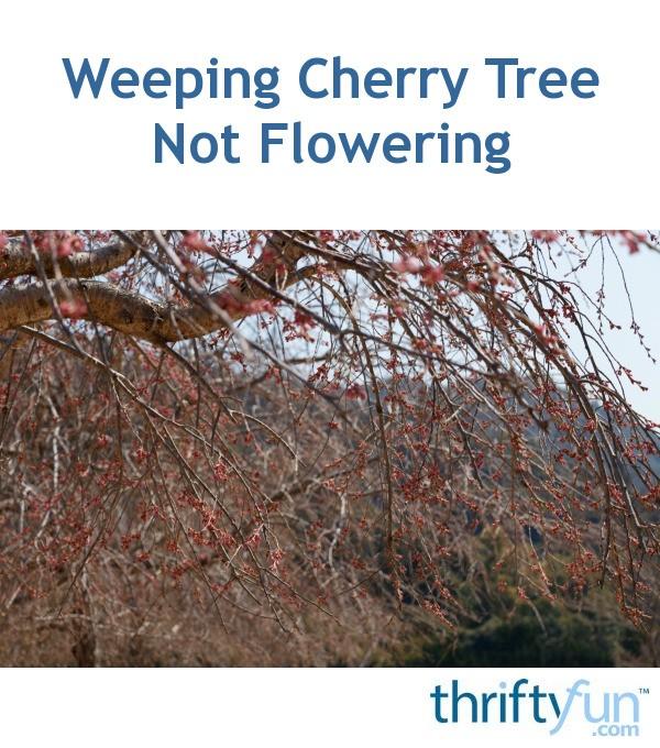 Weeping Cherry Tree Not Flowering Idioticfashion