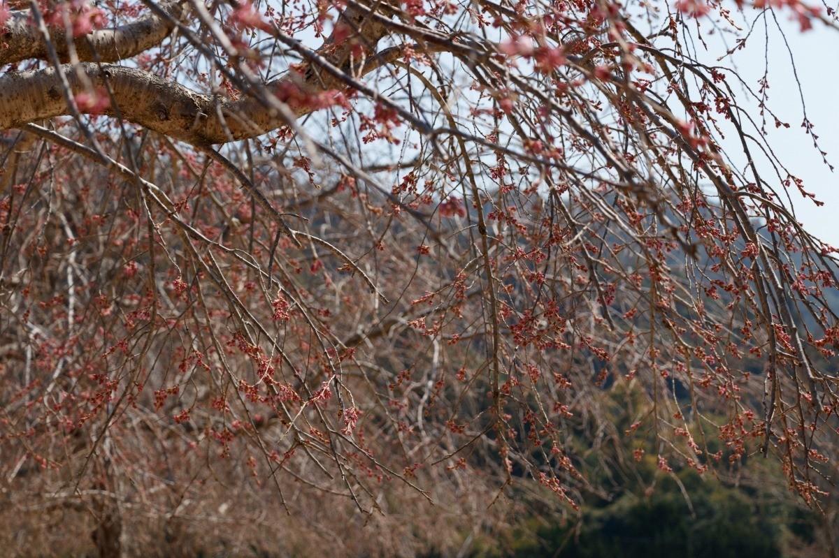 Weeping Cherry Tree Not Flowering