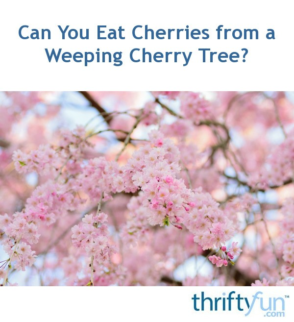 Can You Eat Cherries From A Weeping Cherry Tree Thriftyfun