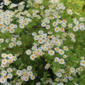 Feverfew - mass of flowers
