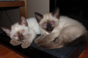 Kittens Do Not Like to Be Picked Up - two young Siamese kittens