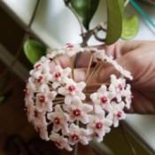 Identifying a Houseplant  - closeup of flower
