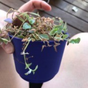Identifying a Houseplant - trailing plant in small blue pot