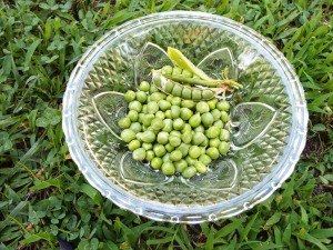 Growing Sugar Snap Peas - peas in a bowl