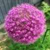 A purple giant allium in full bloom
