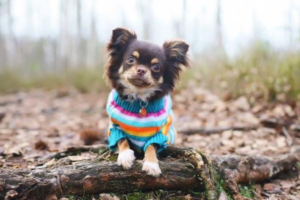 Dog Sweater Patterns ThriftyFun Cool Dog Sweater Patterns