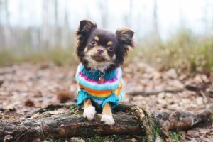 dog wearing a knit sweater