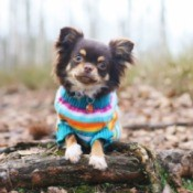 dog wearing a knit sweater