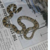 Identifying a Baby Snake Found in New Delhi, India - tannish brown snake with black stripes