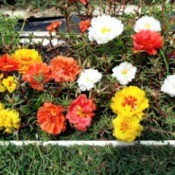 Portulaca Grandiflora Border - portulaca in rain gutter planters