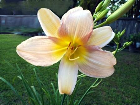 Day Lily At Dusk - beautiful pinkish daylily