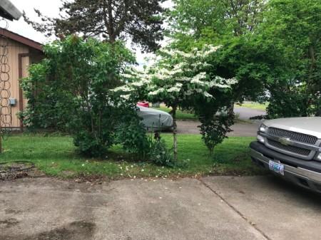 A viburnum tree in bloom