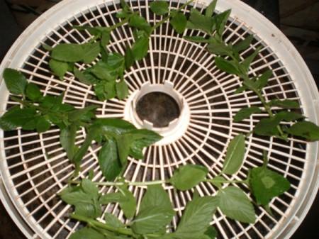 spearmint on food dryer