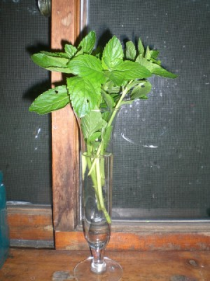 Spearmint in vase