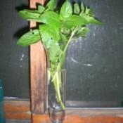 Spearmint in vase
