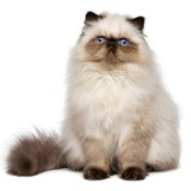 Photo of a fluffy Persian cat.
