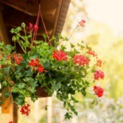 A hanging planter with red flowers.