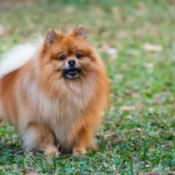 A Pomeranian peeing on a neighbor's lawn.