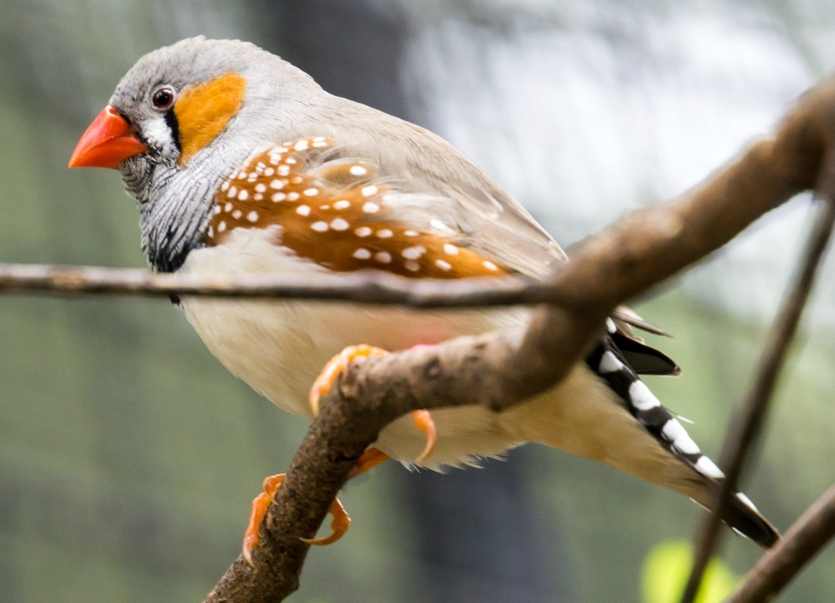 Can Baby Zebra Finches Be Released into Nature?