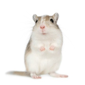 A cute gerbil.