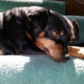 Low Cost Vet Services In or Near San Fernando Valley - black and tan dog lying down