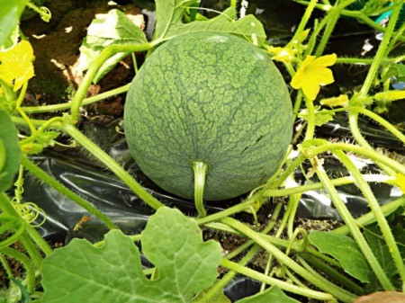 Flora Or Fauna In My Garden - personal sized watermelons