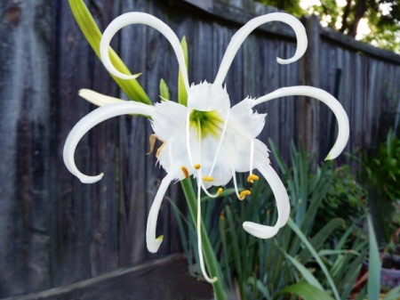 Hymenocallis (Peruvian Daffodil) At Sunrise - beautiful white bloom with curling narrow petals coming out from center bloom