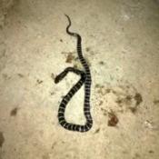 Identifying a Snake - black snake with lighter horizontal stripes