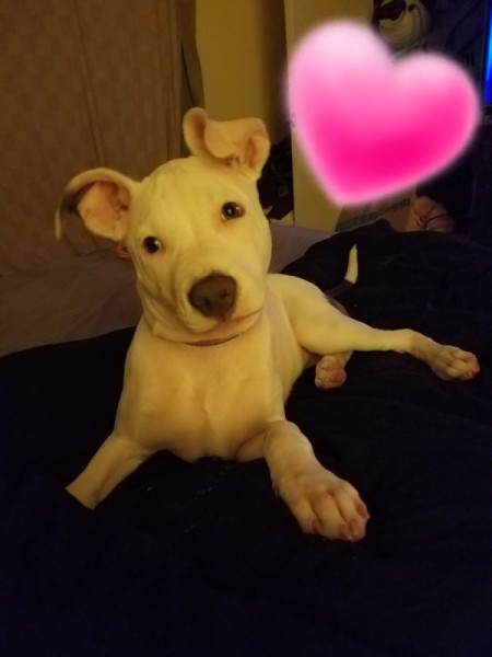 What Type Is My Pit Bull?